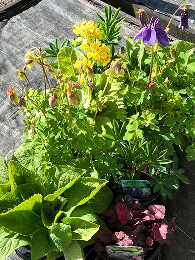 Herbaceous Perennials mix - 1liter, 8 plants of our selection