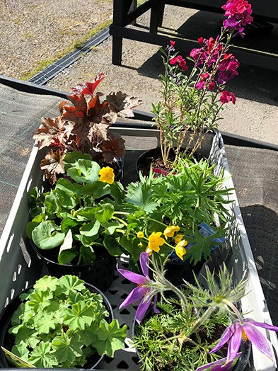 Herbaceous Perennials mix - 2liter, 6 plants of our selection