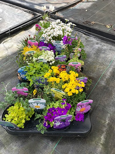 Alpine mix - 9cm, 10 Plants of our selection
