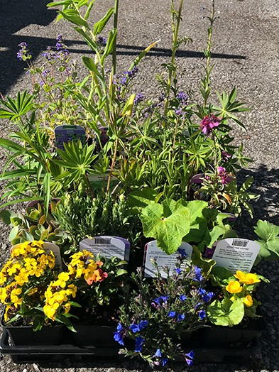 Herbaceous Perennials mix - 9cm, 10 plants of our selection