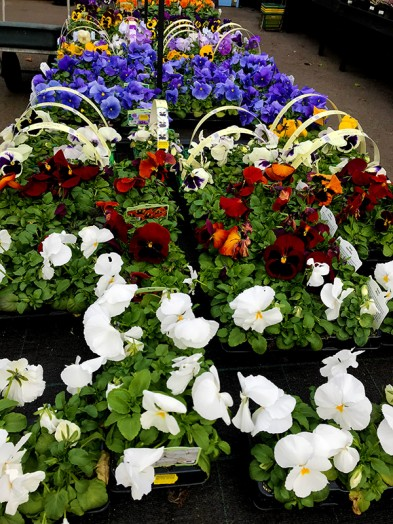 Summer Flowering Pansy 6 pack  - Our selection assorted colours