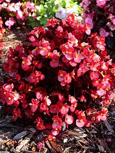Begonia Semp's ( our selection)