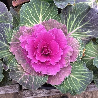 Ornamental Cabbage 4 pack Pink shades