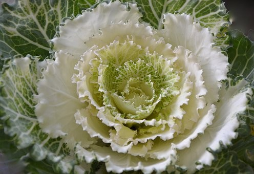 Ornamental Cabbage 4 pack Cream shades