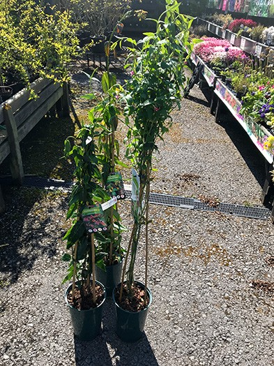 Honeysuckle our selection