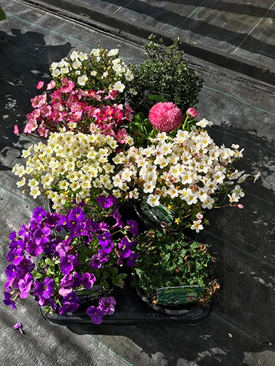 1ltr Alpine mix - 6 plants of our selection