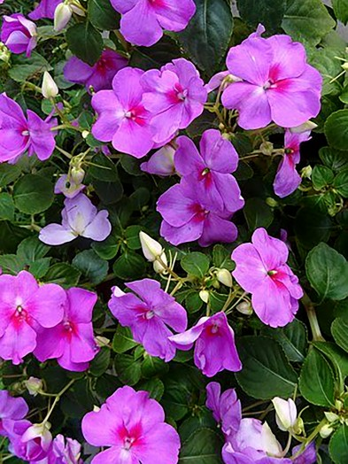 Impatiens, busy lizzie. (our selection)