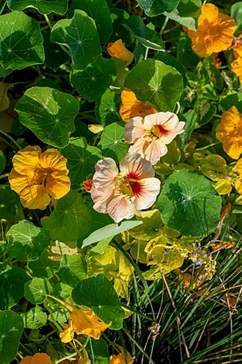 Nasturtiums 6 pack our selection