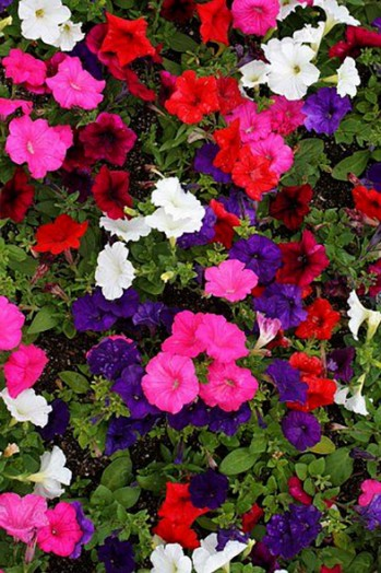 Trailing Petunia (surfinia/ new wave) premium 6 pack