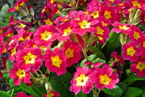 Polyanthus 6 pack Red shades