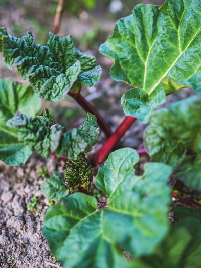 Rhubarb Plant, our selection