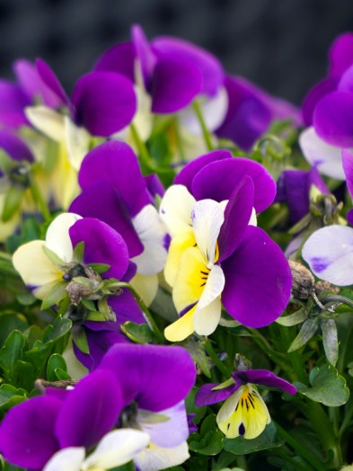 Viola 6 pack - Our selection assorted colours